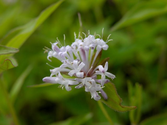 Photo: Asperula taurina