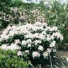 Photo: Rhododendron 'Gomer Waterer'