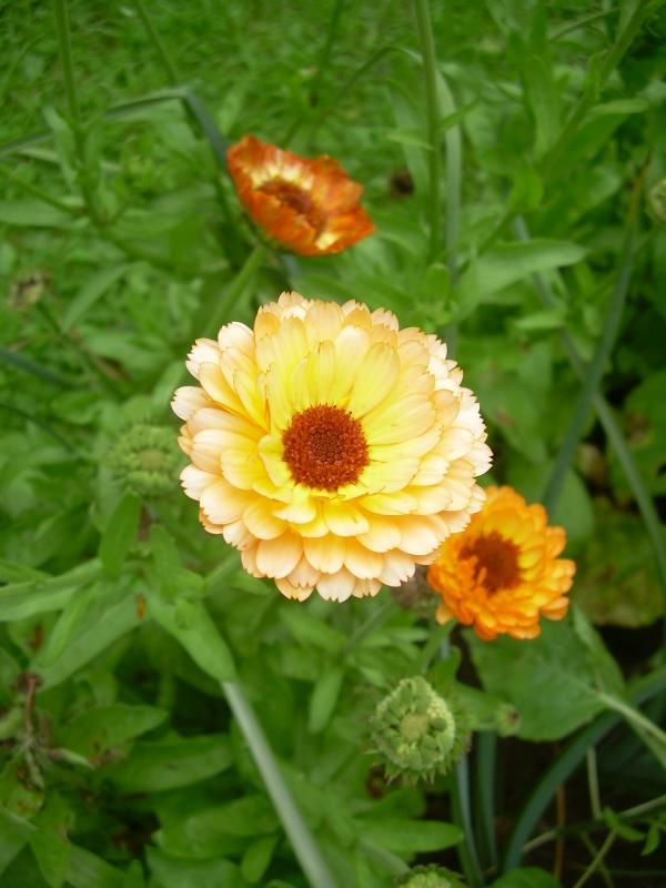 Photo: Calendula officinalis 'Abricot Delight'