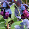 Photo: Cerinthe major 'Purpurascens'