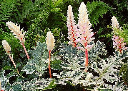 Photo: Acanthus 'Withewater'
