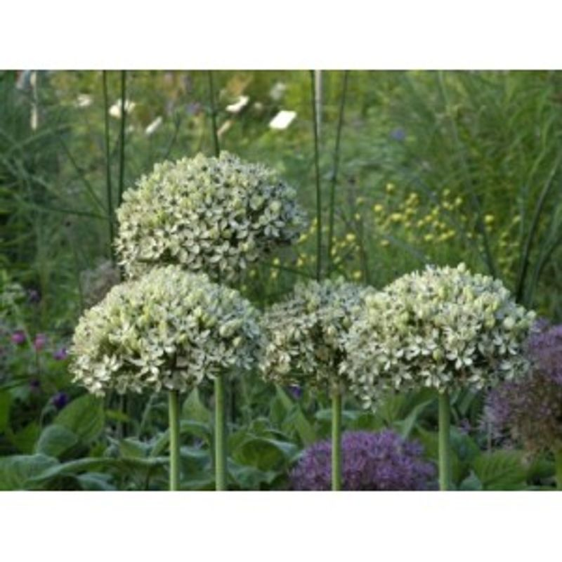 Photo: Allium 'Nigrum'