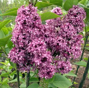 Photo: Lilas 'Charles Joly'