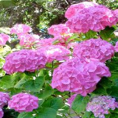 Photo: Hortensia 'Bouquet Rose'