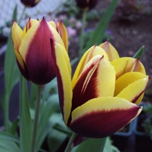 Photo: Tulipa 'Gavota'