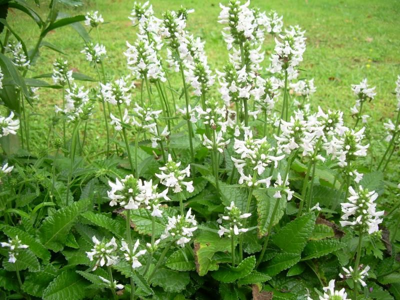 Photo: Stachys officinalis 'Alba'