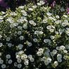 Photo: Cistus x laxus 'Snow White'