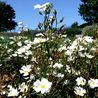 Photo: Cistus x verguinii var. albiflorus