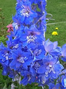 Photo: Delphinium 'Centurion Gentian Blue'