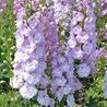 Photo: Delphinium 'Centurion Rose'