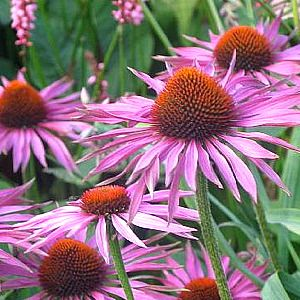 Photo: Echinacea 'Maxima'