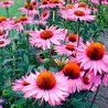 Photo: Echinacea 'Ruby Giant'