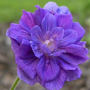 Photo: Geranium himalayense 'Plenum'