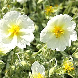 Photo: Helianthemum 'Snow Queen'