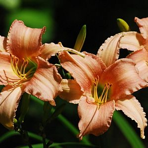 Photo: Hemerocallis 'Luxury Lace'