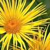Photo: Inula magnifica