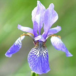 Photo: Iris sibirica 'Blue King'