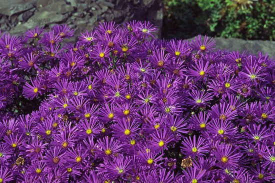 Photo: Aster amellus 'Veilchenkönigin'