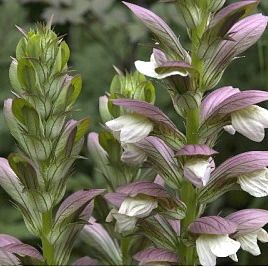 Photo: Acanthus 'Mornings Candle'