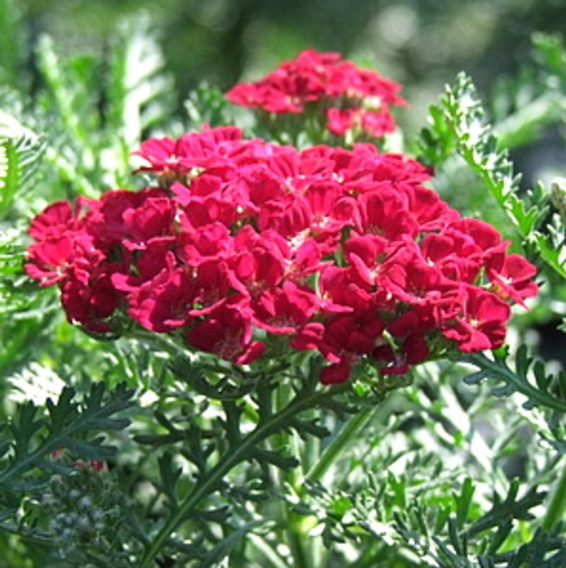 Photo: Achillea 'Pomegranate'