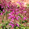 Photo: Agastache 'Heatwave'