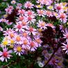 Photo: Aster ericoides 'Lovely'