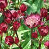 Photo: Astrantia Major 'Hadspen Blood'