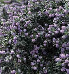 Photo: Ceanothus 'Blue Mound'