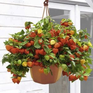 Photo: Physalis 'Halloween King'