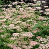 Photo: Pimpinella major 'Rosea'
