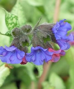 Photo: Pulmonaria 'Majestic'