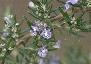 Photo: Rosmarinus officinalis 'Corsican Blue'
