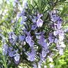 Photo: Rosmarinus officinalis 'Sissinghurst Blue'