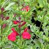 Photo: Salvia 'Caramba'
