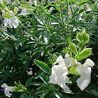 Photo: Salvia greggii 'Alba'