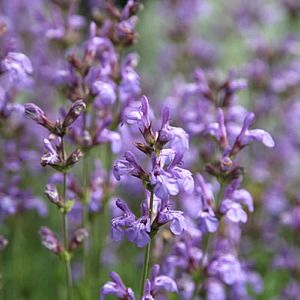 Photo: salvia lavandulifolia
