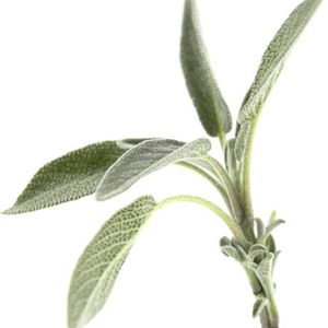 Photo: Salvia officinalis 'Silver Leaf'