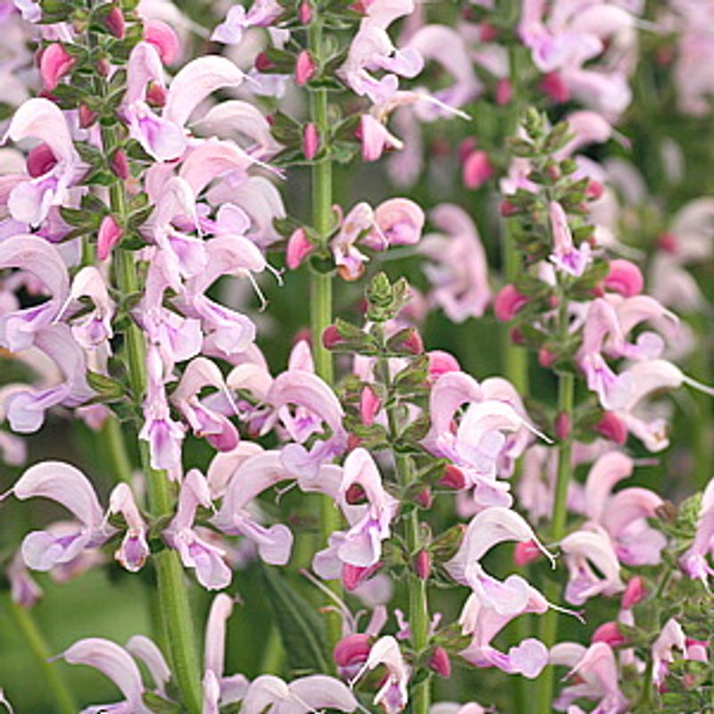 Photo: Salvia 'Eveline'