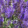 Photo: Salvia x sylvestris 'Viola Klose'
