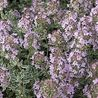 Photo: Thymus citriodorus 'Silver Queen'