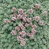 Photo: Thymus pseudolanuginosus