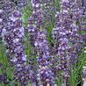Photo: Lavandula angustifolia 'Blue Rider'