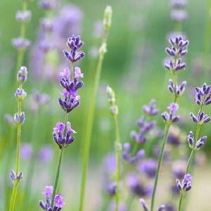Photo: Lavandula angustifolia 'Brabants Lust'