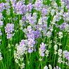 Photo: Lavandula angustifolia 'Cedar Blue'