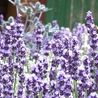 Photo: Lavandula angustifolia 'Contrast'