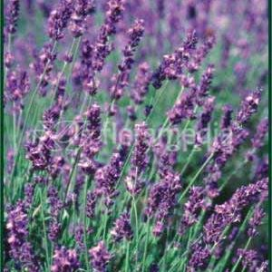 Photo: Lavandula angustifolia 'Dwarf Blue'