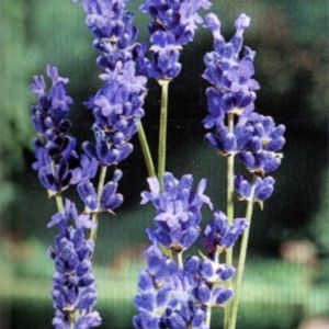 Photo: Lavandula angustifolia 'Imperial Gem'