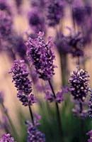Photo: Lavandula angustifolia 'Lavenite Petite'