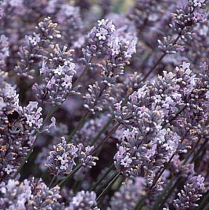 Photo: Lavandula angustifolia 'Miss Katherine'