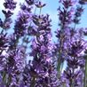 Photo: Lavandula angustifolia 'Pacific Blue'